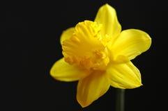 narcyz jasno żółty Obraz Stock