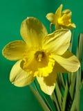 narcyz kwiatów Fotografia Stock