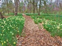 Narcyz Kwitnie, powszechnie dzwonił Daffodils, wzdłuż Chodzącej ścieżki zdjęcia royalty free
