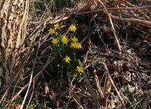 Narcyz w wiosna czasie zdjęcie royalty free
