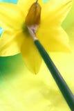 narcyz wiosna zdjęcie royalty free