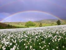 Narcyz wiosny kwiaty zdjęcia royalty free