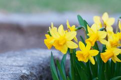 Narcyza żółty flowerbed obraz stock