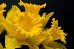 Narcyza daffodil żółty jonquilla Obrazy Stock