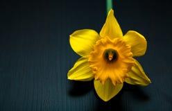 Narcyza daffodil żółty jonquilla Zdjęcie Royalty Free