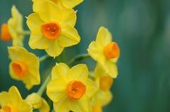 narcyza kolor żółty fotografia stock