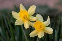narcyza kolor żółty dwa obraz royalty free
