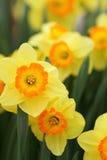 Narcyza koloru żółtego daffodils Fotografia Royalty Free