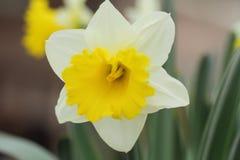 Narcyza koloru żółtego daffodils Fotografia Stock