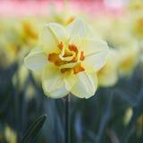 Narcyza kwiat Obrazy Stock