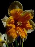 Narcyza kwiat Zdjęcia Stock