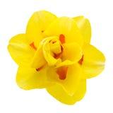 Narcyza kwiat odizolowywający na białym tle fotografia stock