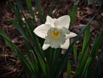 Narcyza kwiat, powszechnie nazwany Daffodil obrazy royalty free