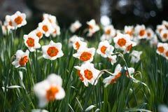 Narcyza kwiatu dywan wśród zielonego pola Zdjęcia Royalty Free