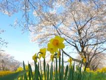 Narcyza pole z Sakura Czereśniowego okwitnięcia drzewnym tłem F obrazy stock