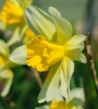 Narcyza pseudonarcissus powszechnie znać jako dziki daffodil lub Pożyczająca leluja fotografia royalty free