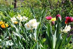 Narcyzi i tulipany Zdjęcia Royalty Free