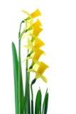 narcyzy żółte Zdjęcia Stock