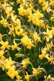 narcyzy żółte Zdjęcie Royalty Free
