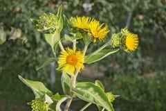 Nard färben Blumen auf einem grünen Hintergrundgarten gelb lizenzfreie stockfotos