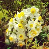 Narges flowers at yard. Narges flowers in iran Royalty Free Stock Photos