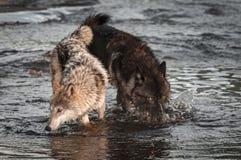 Narices del lupus de Grey Wolves Canis abajo en el río Imagenes de archivo