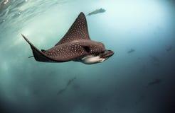 Narinari repéré d'Aetobatus d'aigles de mer nageant sous l'eau Photo libre de droits