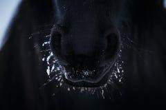 Narinas do cavalo do frisão dentro à neve fotos de stock