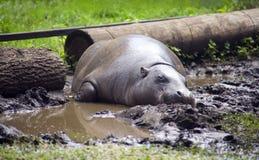 Narinas fender-hoofed liberianas do jardim zoológico dos tímpanos do mamífero do anão do hipopótamo foto de stock royalty free