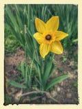 Narissus kwitnie w nasz ogródzie Fotografia Stock