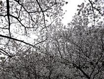 Narita Sakura - tot bloei komende takken Royalty-vrije Stock Fotografie