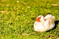 Nariz branco do vermelho do pato Fotos de Stock Royalty Free