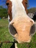Nariz branco e marrom do cavalo Imagem de Stock