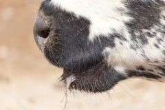 Nariz da vaca Imagem de Stock