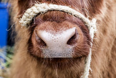 Nariz da vaca Foto de Stock