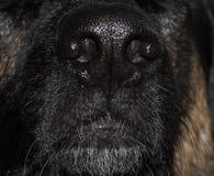 Nariz de cão Imagem de Stock Royalty Free