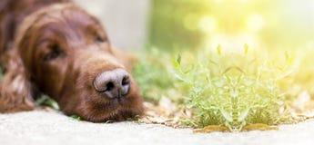Nariz de cão preguiçoso fotografia de stock royalty free