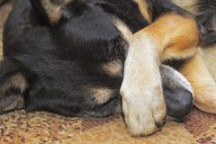 Nariz de la cubierta del perro Fotos de archivo
