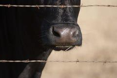 Nariz de la vaca Fotos de archivo libres de regalías