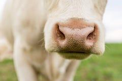 Nariz de la vaca blanca Foto de archivo libre de regalías