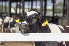 Nariz de la vaca lechera Fotografía de archivo