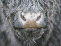 Nariz de las vacas Foto de archivo