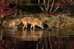 Nariz de los latrans del Canis del coyote abajo al agua Imagenes de archivo