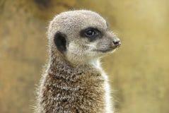 Nariz de Meerkat - de Sandy Fotografia de Stock