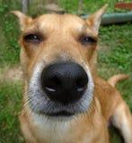 Nariz de perro imagenes de archivo