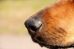 Nariz de perro Imagen de archivo libre de regalías