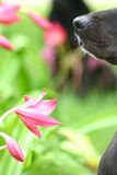 Nariz de perro con la flor Fotos de archivo