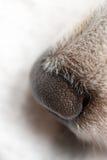Nariz de perro del primer Foto de archivo