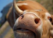 Nariz de uma vaca Fotos de Stock Royalty Free