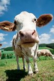 Nariz de uma vaca Fotografia de Stock